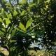 Лавровый лист (листья)